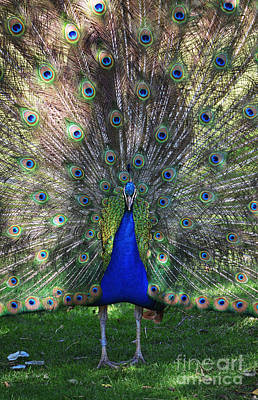 Photograph - Peacock Plumage by Shawn O'Brien