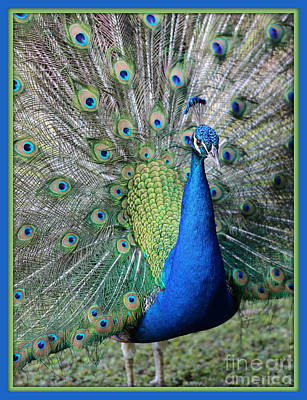 Photograph - Peacock Plumage With Border by Carol Groenen