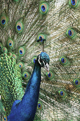 Photograph - Peacock Portrait #5 by Judy Whitton