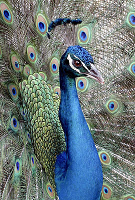 Photograph - Peacock Portrait by Bob Slitzan