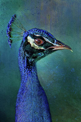 Photograph - Peacock Portrait by HH Photography of Florida