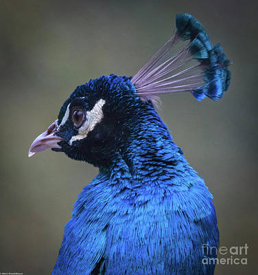 Photograph - Peacock Portrait  by Mitch Shindelbower