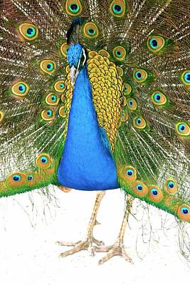 Photograph - Peacock Presence by My Lens and Eye - Judy Mullan -