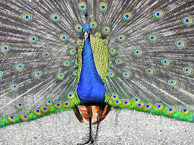 Photograph - Peacock Pride by Laura Ragland