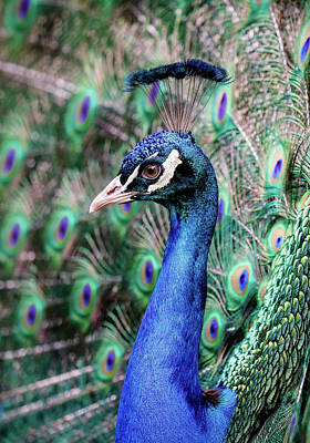 Photograph - Peacock Profile by Athena Mckinzie