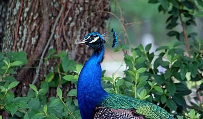 Photograph - Peacock Profile by Cynthia Guinn