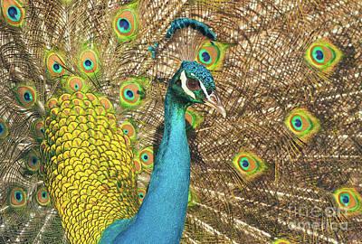 Photograph - Peacock by Ram Vasudev
