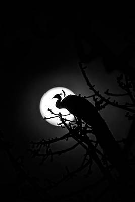 Photograph - Peacock Roosting Against Full Moon. by Ramabhadran Thirupattur