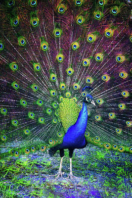 Photograph - Peacock Series 9801 by Carlos Diaz