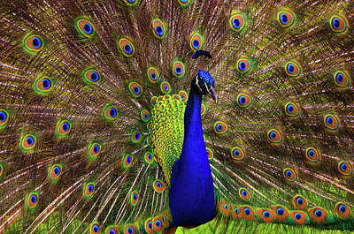 Peacock Showing Breeding Plumage In Jupiter, Florida Art Print