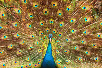 Photograph - Peacock Showing Its Feathers Xl by Patricia Hofmeester