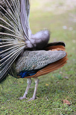 Photograph - Peacock Side View by Carol Groenen