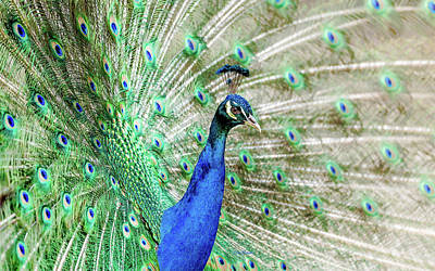 Photograph - Peacock Sketch by Ericamaxine Price