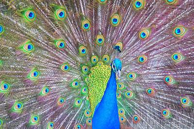 Photograph - Peacock by Spencer Hughes