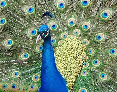 Photograph - Peacock Splender by Jacklyn Duryea Fraizer