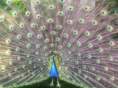 Photograph - Peacock Splendor by Kristina Deane