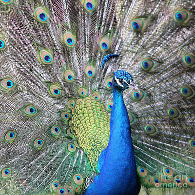 Photograph - Peacock Square by Carol Groenen
