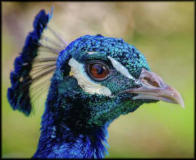 Photograph - Peacock Stare by Elaine Malott