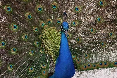 Photograph - Peacock Strut by Gwen Vann-Horn