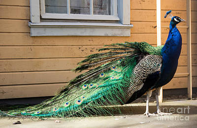 Photograph - Peacock by Suzanne Luft