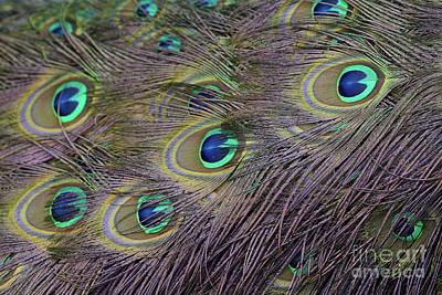 Photograph - Peacock Tail Feather by Giovanni Malfitano