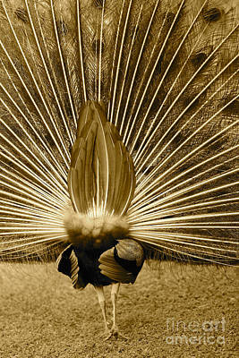 Photograph - Peacock Tail Feathers - Sepia by Carol Groenen