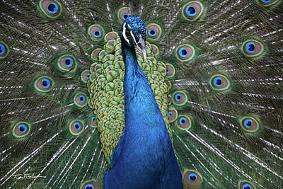 Photograph - Peacock by Tim Fitzharris