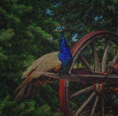 Photograph - Peacock Vantage by Amanda Smith