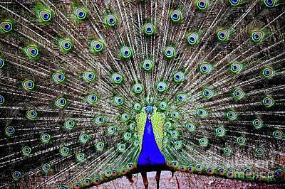 Photograph - Peacock by Vivian Krug Cotton