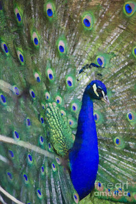 Digital Art - Peacock Watercolor by Jill Lang