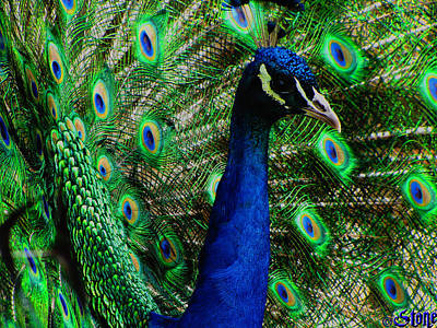 Photograph - Peacock2 by September  Stone