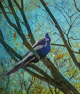 Photograph - Peacocks In Tree by John Rivera