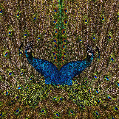 Spotted Tail Painting - Peacocks by Jack Zulli