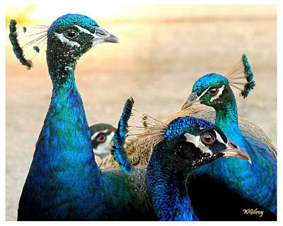 Sebastian Florida Photograph - Peacocks by W Gilroy