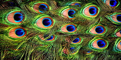Birds Photograph - Peacock Feather by HQ Photo