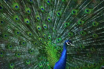 Photograph - Peafowl by Elsa Marie Santoro