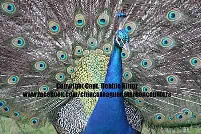 Photograph - Peafowl Plumage by Captain Debbie Ritter