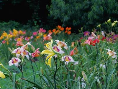 Photograph - Peak Glow - Daylilies by MTBobbins Photography