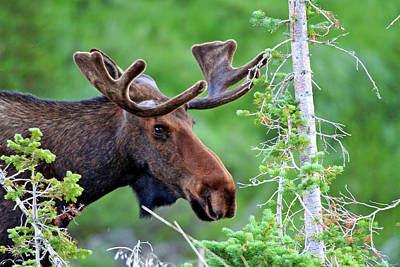 Art Print featuring the photograph Peaking Moose by Scott Mahon