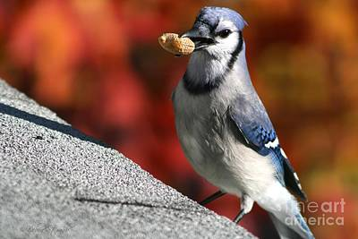 Bluejay Photograph - Peanut Snatcher by Debra Straub