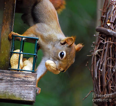 Photograph - Peanut Thief by Kerri Farley