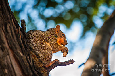 Fox Squirrel Photograph - Peanut Time by Robert Bales