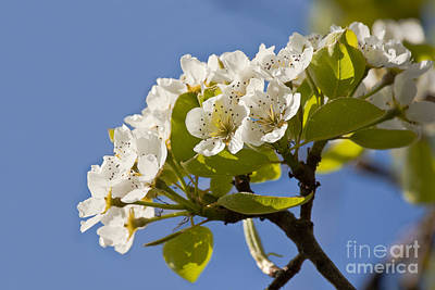 Photograph - Pear Blossom by Terri Waters