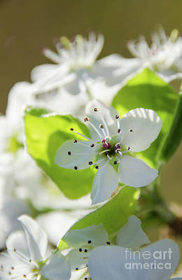 Photograph - Pear Blossoms 3 by Andrea Anderegg