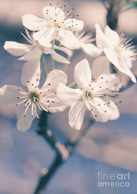 Photograph - Pear Blossoms 4 by Andrea Anderegg