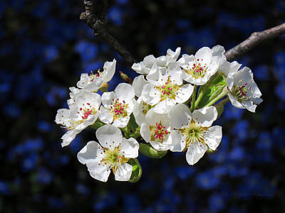 Photograph - Pear Blossoms And Georgia Blue 1 by Brooks Garten Hauschild