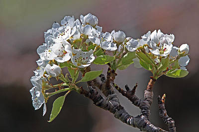 Tree Photograph - Pear Blossoms by Gary Wing