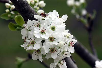 Art Print featuring the photograph Pear Blossoms In Spring by Sheila Brown