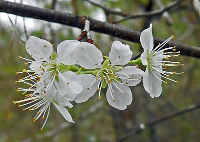 Pear Blossoms Photo Original