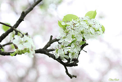Photograph - Pear Blossoms by Trina Ansel
